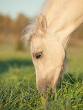 Portrait of grazing welsh  pony  foal . Royalty Free Stock Photos