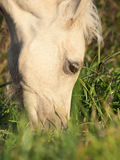 Portrait of grazing welsh  pony  foal .close up Royalty Free Stock Image