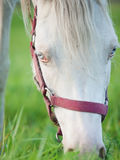 Portrait of grazing welsh  pony  foal . close up Royalty Free Stock Photos