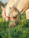 Portrait of grazing welsh  ponys . Royalty Free Stock Photography