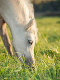 Portrait of grazing welsh  ponys. close up Stock Photography