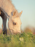 Portrait of grazing welsh  ponys. close up Royalty Free Stock Photo