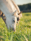 Portrait of grazing welsh  ponys. close up Stock Photos