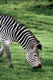 Portrait of a Grazing Zebra Royalty Free Stock Image