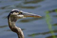 Portrait of a great blue heron Stock Image