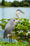Portrait of great blue heron Royalty Free Stock Photography