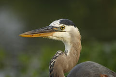 Portrait of Great blue heron Stock Photography