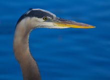 Portrait of a Great Blue Heron Stock Photos