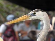 Portrait of Great Blue Heron, Ardea herodias, Santa Cruz Island in Galapagos National Park, Equador. One Portrait of Great Blue Heron, Ardea herodias, Santa Cruz Stock Photos