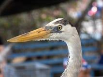 Portrait of Great Blue Heron, Ardea herodias, Santa Cruz Island in Galapagos National Park, Equador. One Portrait of Great Blue Heron, Ardea herodias, Santa Cruz Royalty Free Stock Images