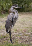 Portrait of a Great blue heron Royalty Free Stock Photos