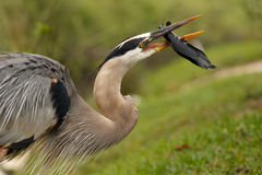 Portrait of Great blue heron eating fish Royalty Free Stock Photos
