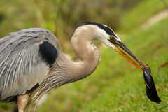Portrait of Great blue heron eating fish Stock Images