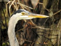Portrait of a Great Blue Heron stock images