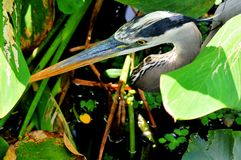 Portrait of great blue heron in water Stock Photography