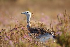 Portrait of a Great Bustard otis tarda in the grass. stock photography