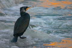 Portrait of Great Cormoran on the frozen river at sunrise Stock Images