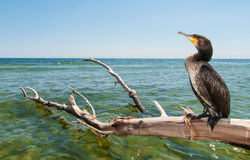 Portrait of Great Cormoran (Phalacrocorax carbo). Standing on a branch Stock Photography
