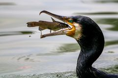 Portrait of Great Cormorant catching fish. Great Cormorant with a fish between its beak. Both eyes of the subjects are in focus stock images