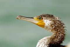 Portrait of Great Cormorant Stock Image