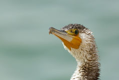 Portrait of Great Cormorant Stock Images