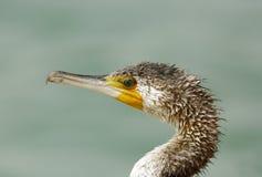 Portrait of Great Cormorant Royalty Free Stock Photo