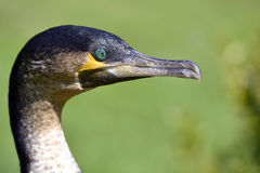 Portrait of Great Cormorant Stock Photos