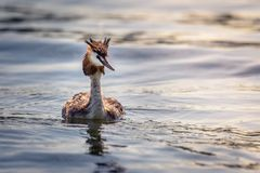 A portrait of a great crested grebe podiceps cristatus royalty free stock images