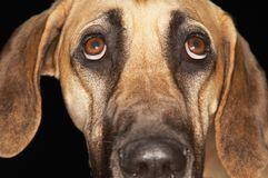 Portrait Of Great Dane Stock Image