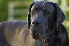 Portrait of Great Dane blue Royalty Free Stock Photography