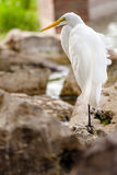 Portrait of great egret, Ardea alba Royalty Free Stock Images