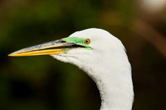 Portrait of Great egret in breeding colors Royalty Free Stock Photography