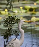 Portrait of great egret by the water. royalty free stock photos