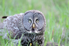 Portrait of Great Grey Owl. An up-close photo of an adult great grey owl Royalty Free Stock Images