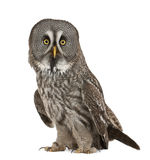 Portrait of Great Grey Owl. Or Lapland Owl, Strix nebulosa, a very large owl, standing in front of white background royalty free stock photography