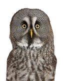 Portrait of Great Grey Owl or Lapland Owl. Strix nebulosa, a very large owl, in front of white background stock photos