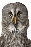 Portrait of Great Grey Owl or Lapland Owl, Strix nebulosa, a very large owl. In front of white background stock photos