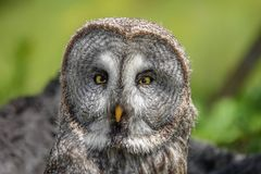 Portrait of Great Grey Owl Strix nebulosa Stock Image
