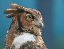 Portrait of A Great Horned Owl. With blue background stock image