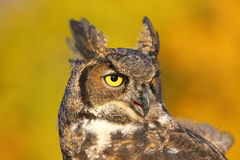 Portrait of Great horned owl Stock Photo