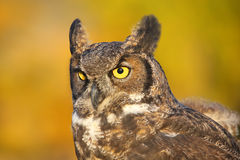 Portrait of Great horned owl Royalty Free Stock Image