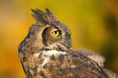 Portrait of Great horned owl Stock Photos
