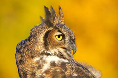 Portrait of Great horned owl Stock Photography