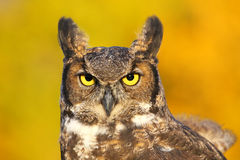 Portrait of Great horned owl Royalty Free Stock Photography