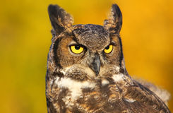 Portrait of Great horned owl Stock Images