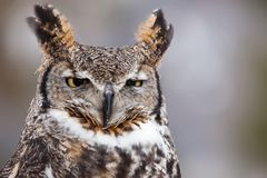 Portrait of a great horned owl. Great horned owl staring at camera Stock Photo