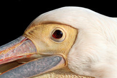 Portrait of a great pelican over dark background Royalty Free Stock Images