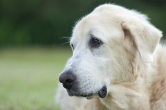 Portrait of a Great Pyrenees Dog. Beautiful portrait of working farm dog, a Great Pyrenees Stock Image
