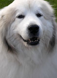 Portrait of a great pyrenees dog Stock Image