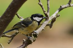 Great tit parus major. Portrait of a great tit parus major perching on a branch royalty free stock image